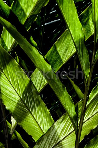 Leaves in LIght Stock photo © JFJacobsz