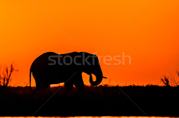 Silhouette of an Elephant Stock photo © JFJacobsz