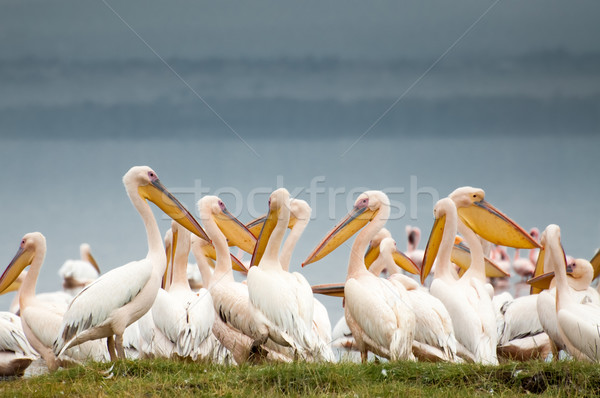 Stock photo: Pelicans by the Lake