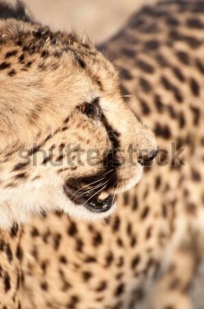 Guépard Namibie autour jour lumière regarder Photo stock © JFJacobsz
