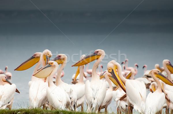 Stock photo: Pelicans by Lake Nakuru
