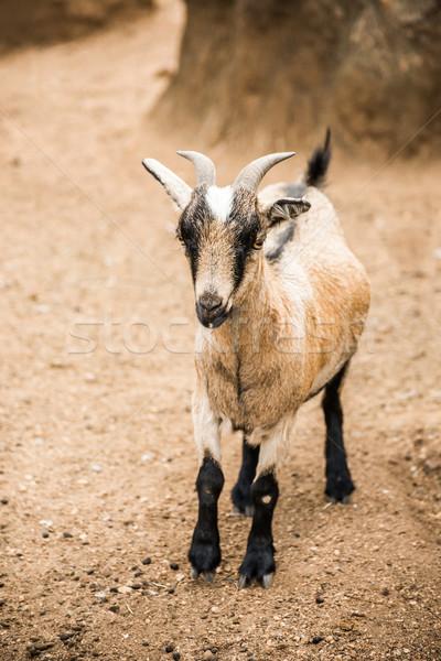 Pygmy Goat on farm Stock photo © JFJacobsz