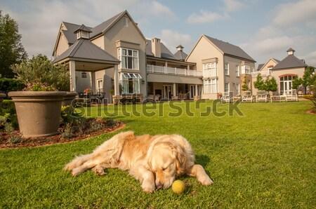 Golden Retriever with Tennis Ball Stock photo © JFJacobsz