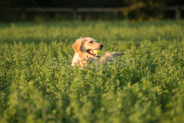 Golden Retriever Retrieving Tennis Ball. Stock photo © JFJacobsz
