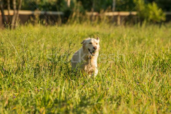 Golden Retriever fetching ball. Stock photo © JFJacobsz