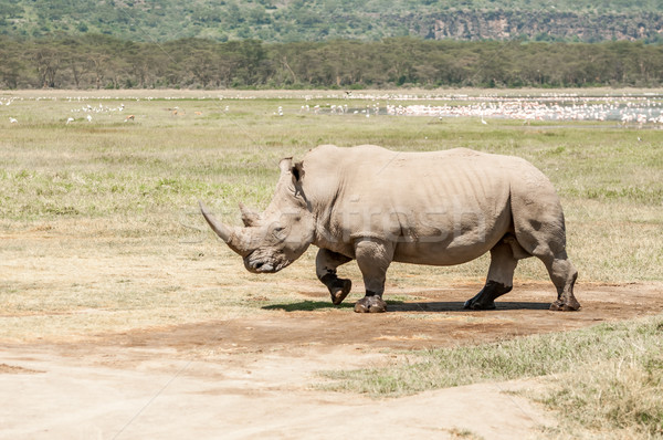 Stock photo: White Rhinoceros walking over flat open landscape