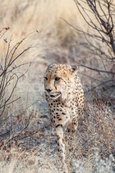Prowling Cheetah Stock photo © JFJacobsz