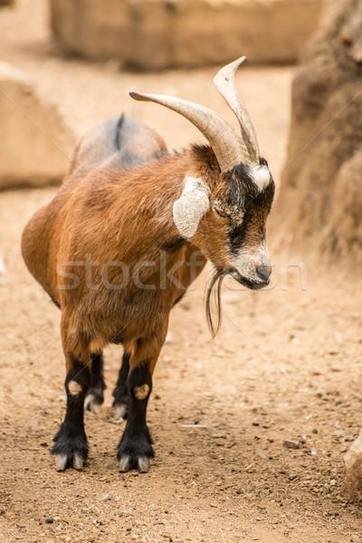 Pygmy Goat Stock photo © JFJacobsz