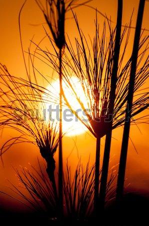 Silhouette papiro tramonto impianti rosso giallo Foto d'archivio © JFJacobsz