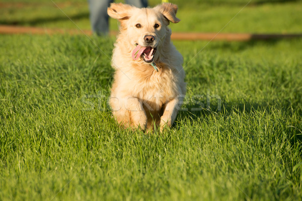 Golden retriever femenino perro corto hierba verde Foto stock © JFJacobsz