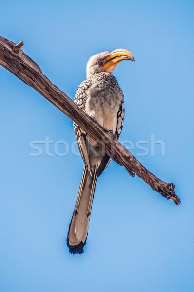 Southern Yellow Billed Hornbill Stock photo © JFJacobsz