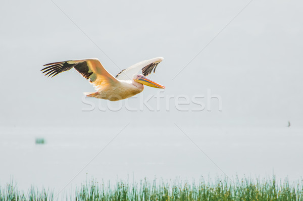 Stock photo: Pelican in Flight