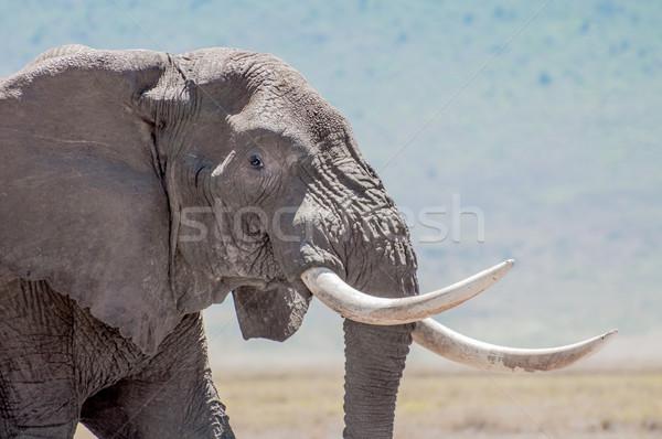 Elephant Bull with Tusks Stock photo © JFJacobsz