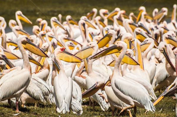 Stock photo: Pelicans at the Lake