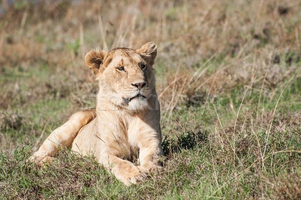 Lioness lying in green grass Stock photo © JFJacobsz