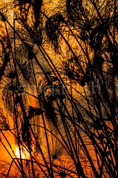 Sunset with silhouette of papirus Stock photo © JFJacobsz