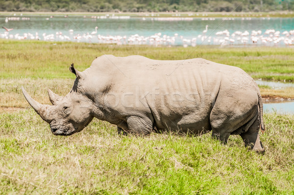 White Rhinoceros in Full View by Lake. Stock photo © JFJacobsz