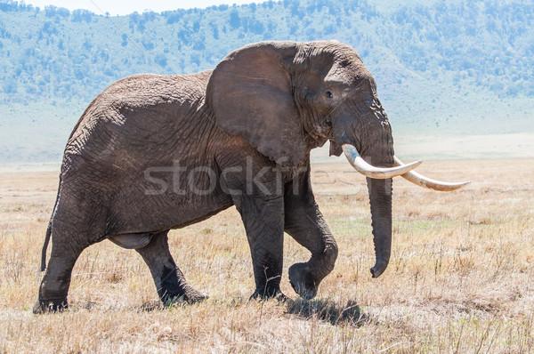Reusachtig olifant stier lopen krater vol Stockfoto © JFJacobsz