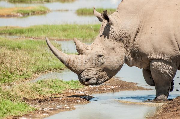 Branco rinoceronte água potável feminino rinoceronte bebidas Foto stock © JFJacobsz