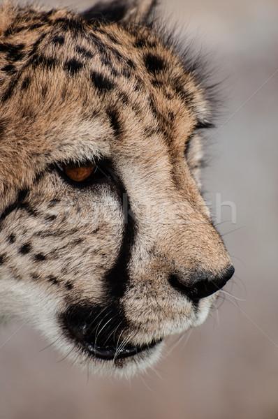 Portrait of a Cheetah Stock photo © JFJacobsz