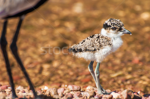 Lapwing Chick with Mother Stock photo © JFJacobsz
