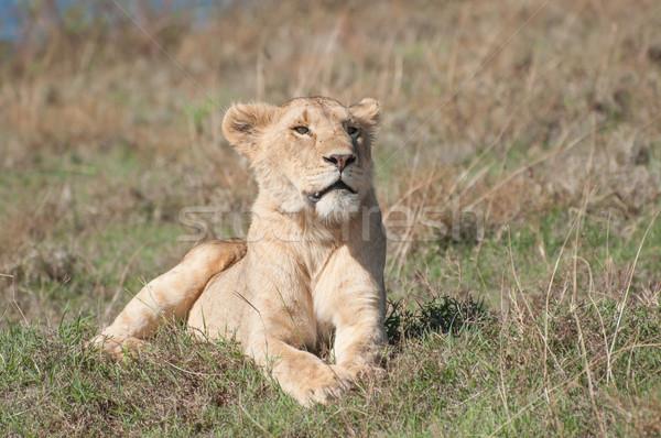 Lioness Lying Down Stock photo © JFJacobsz