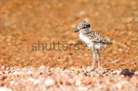 Bebé playa mirando lago Chick Foto stock © JFJacobsz