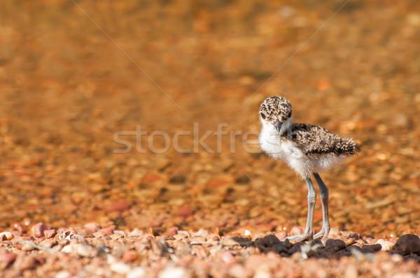Stock photo: Lapwing Chick at Lake