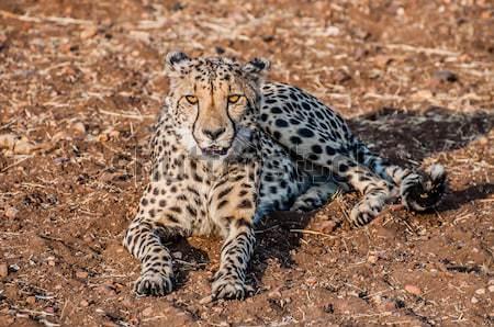 Cheetah lying in the sand Stock photo © JFJacobsz