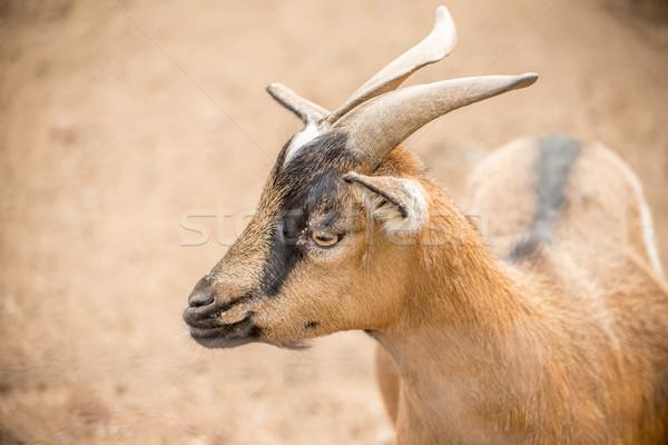 Pygmy Goat close up Stock photo © JFJacobsz