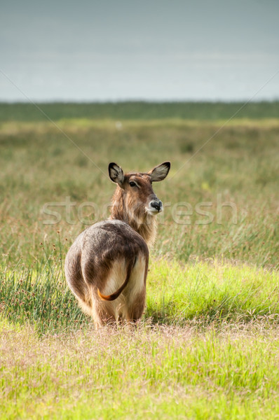 Waterbuck Watching Stock photo © JFJacobsz