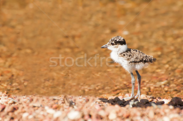 Plover Chick at Water Stock photo © JFJacobsz