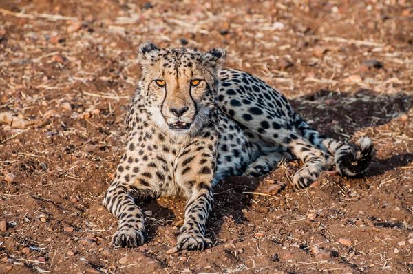 Cheetah grond bush Namibië zand afrika Stockfoto © JFJacobsz