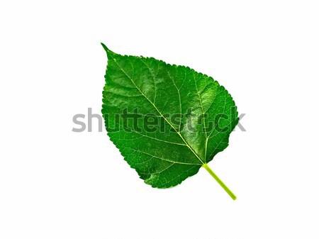 Zöld lomb izolált fehér textúra fa Stock fotó © jiaking1