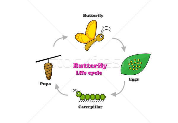 Butterfly life cycle in colorful style, vector Stock photo © jiaking1