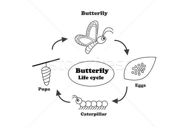 Butterfly life cycle in outline style, vector Stock photo © jiaking1