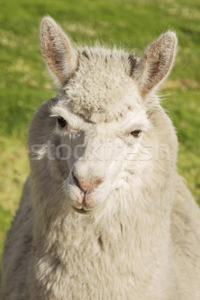 Close up of lama, Arequipa, Peru Stock photo © jirivondrous