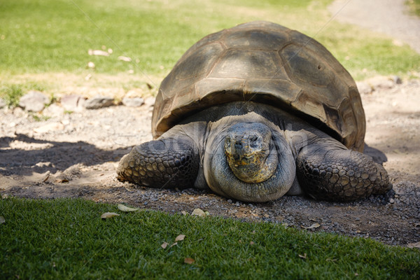 Részlet óriás teknős Peru nyár utazás Stock fotó © jirivondrous