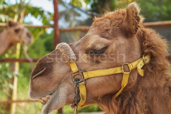 Gülme deve gülümseme eğlence dişler renk Stok fotoğraf © jirivondrous