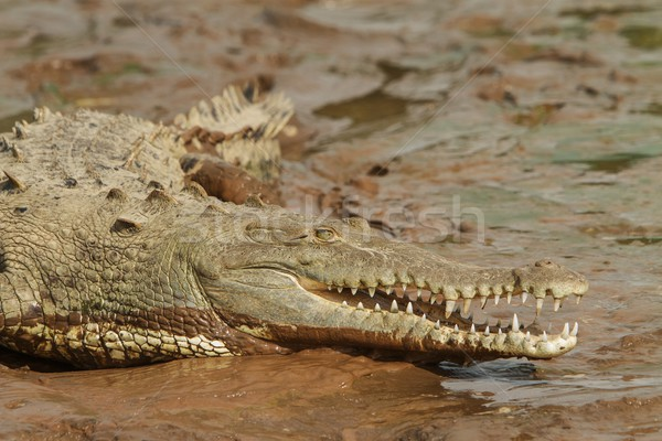 Crocodile with open mouth Stock photo © jirivondrous