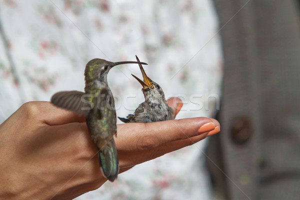 Hummingbirds feeding on the hand of girl Stock photo © jirivondrous