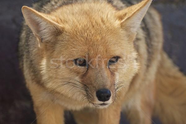 áll róka néz oldal közelkép szemek Stock fotó © jirivondrous