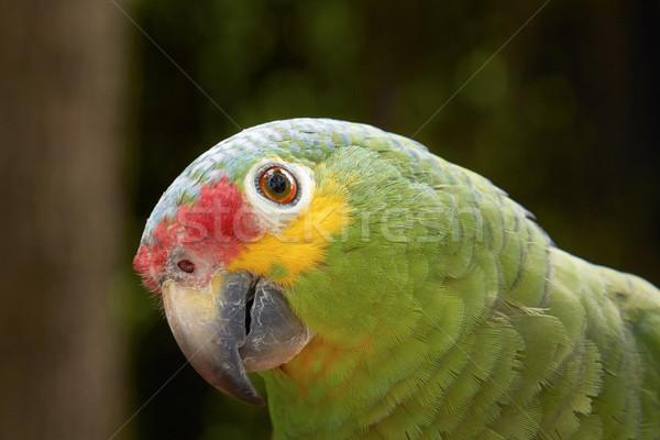 Yeşil papağan bulanık kırmızı renk orman Stok fotoğraf © jirivondrous