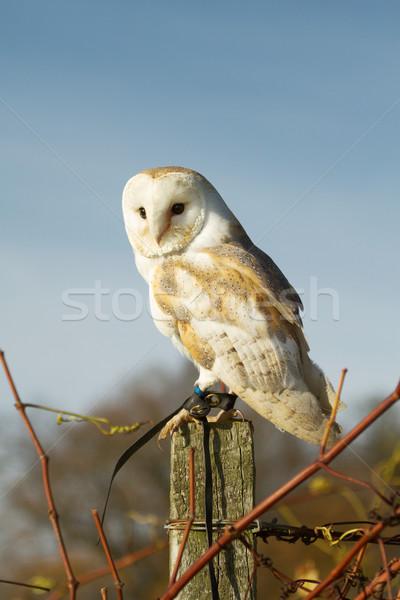 Beautiful Barn Owl on a Post During Sunset Stock photo © jirivondrous