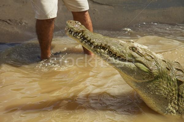 Részlet krokodil emberi lábak kölcsönhatás vad Stock fotó © jirivondrous