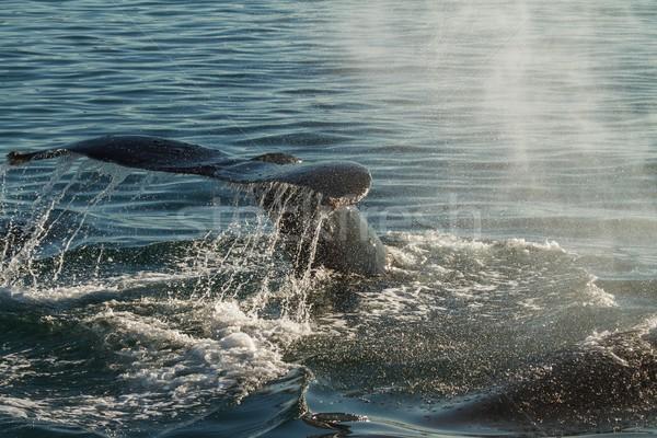 Kuyruk balina dalış arka ışık vurgu tüm Stok fotoğraf © jirivondrous