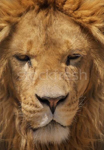 подробность голову портрет лев Сток-фото © jirivondrous