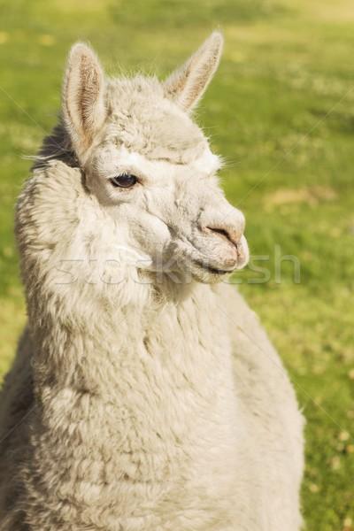 Peru çim seyahat çiftlik Stok fotoğraf © jirivondrous