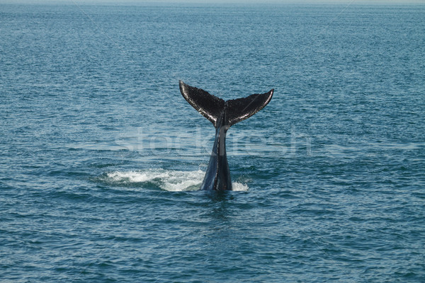 A young Humpback Whale Waves its Tail Stock photo © jirivondrous