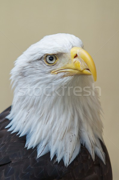 Stock photo: Detail of bald eagle's head